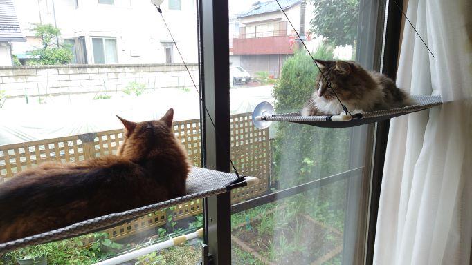 猫窓ハンモックでくつろぐ猫、ノルウェージャンフォレストキャットのトトとソマリのチー