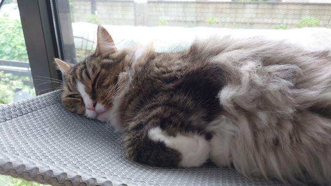 雨の日は寝るに限ります、ノルウェージャンフォレストキャットのトト