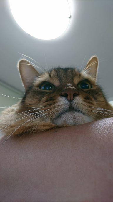抱っこされている猫、ソマリのチー