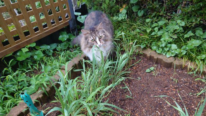 雨上がりの散歩を楽しむ猫、ノルウェージャンフォレストキャットのトト