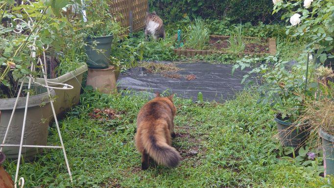雨上がりの散歩を楽しむ猫、ソマリのチー