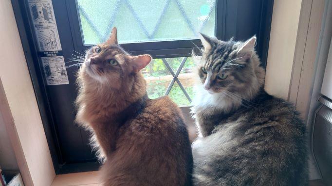外に出せと要求する猫、トトとチー