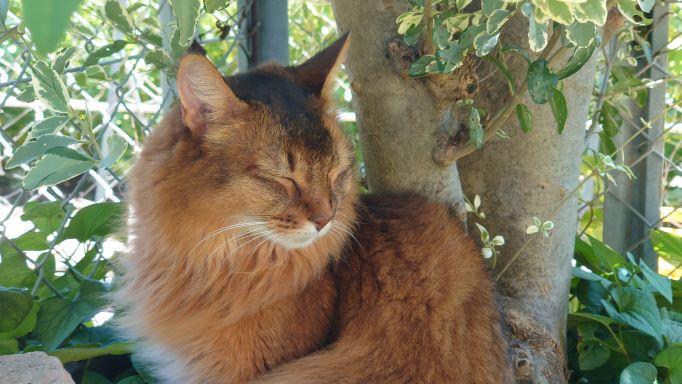 太陽が気持ちよくて目を閉じる猫、ソマリのチー