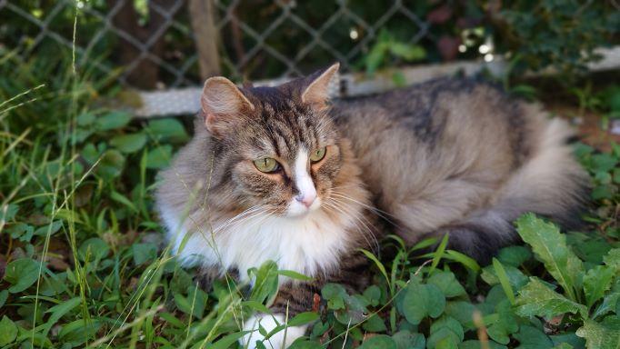 日陰で小休止する猫、ノルウェージャンフォレストキャットのトト