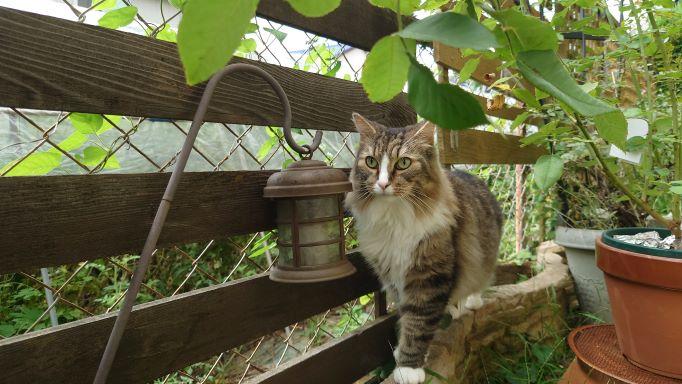 パトロールをする猫、ノルウェージャンフォレストキャットのトト
