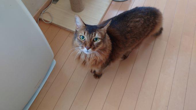 ご飯を待つ猫、ソマリのチー