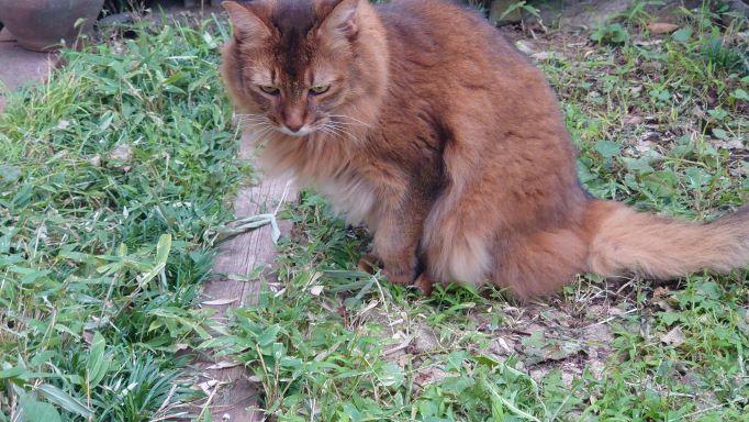 バッタを見つめる猫、ソマリのチー