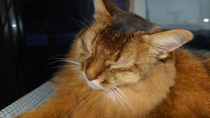 猫窓ハンモックで寝る猫、ソマリのチー
