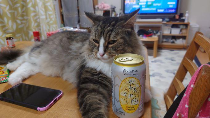 下僕の晩酌に付き合う猫、ノルウェージャンフォレストキャットのトト