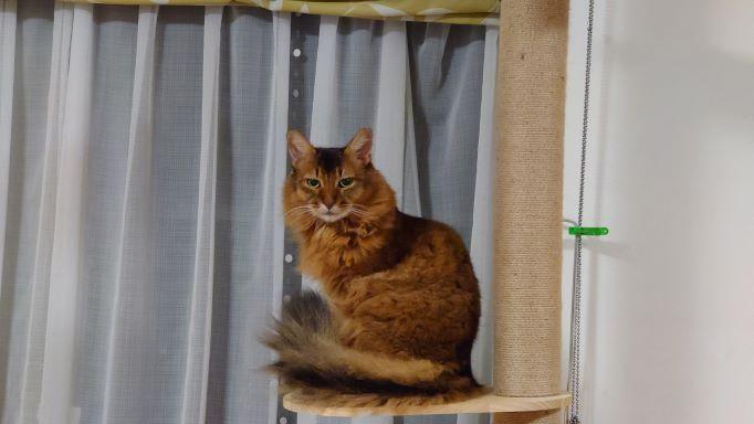 下僕が飲みすぎないように監視する猫、ソマリのチー