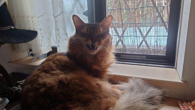 外の空気を感じながら不細工な顔を披露する猫、ソマリのチー