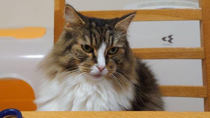 話しかけてくる猫、ノルウェージャンフォレストキャットのトト