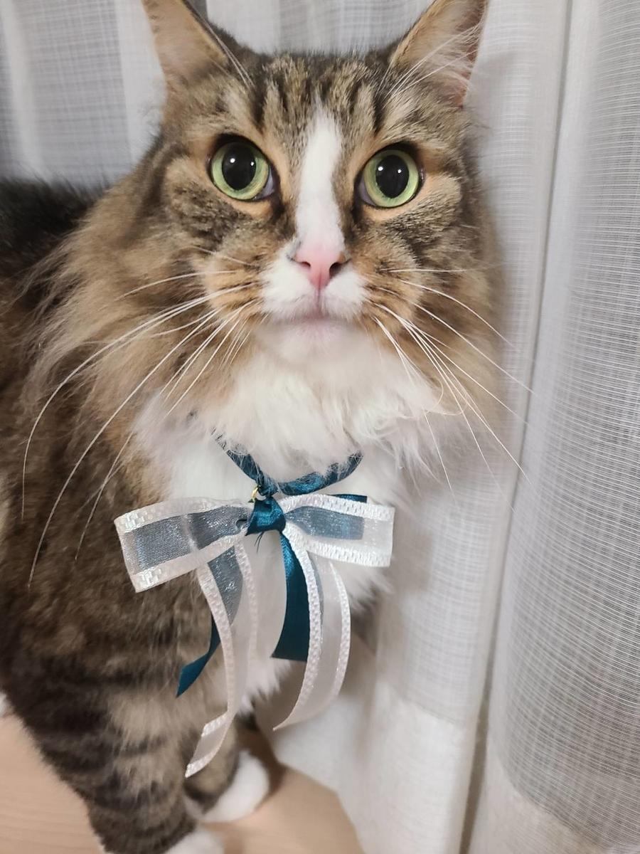リボンを付けた猫、ノルウェージャンフォレストキャットのトト