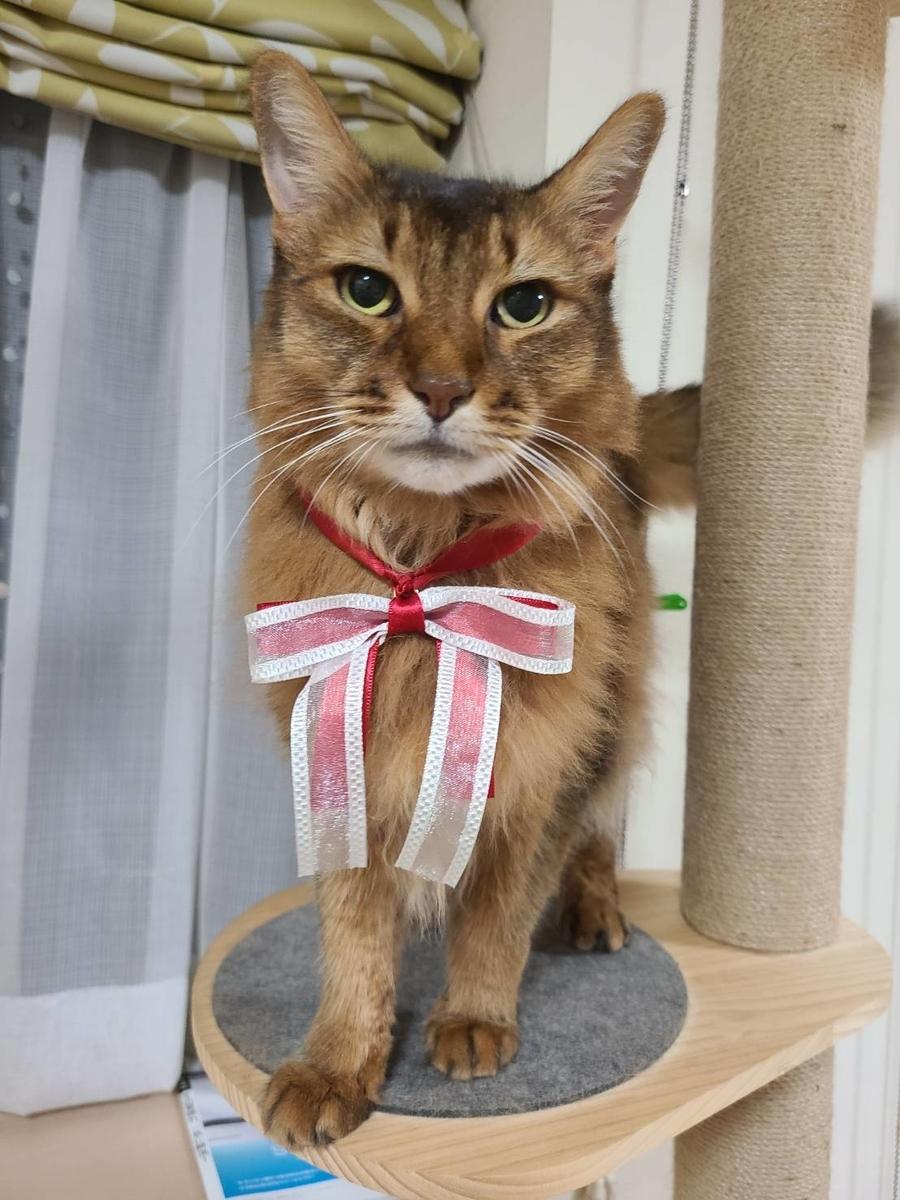 リボンを付けた猫、ソマリのチー
