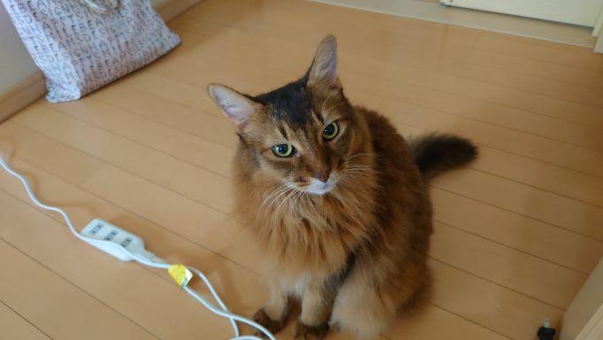出待ちの猫、ソマリのチー