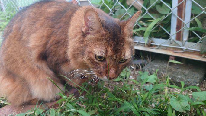 何かを見つめる猫、ソマリのチー