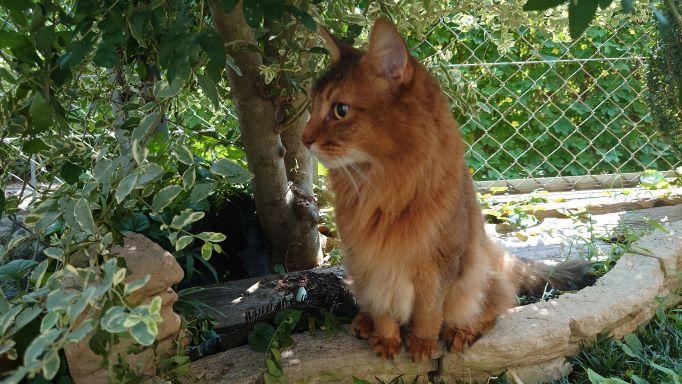 木陰で涼む猫、ソマリのチー