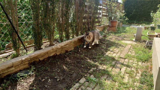 ニャルソックする猫、ノルウェージャンフォレストキャットのトト