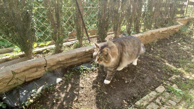ニャルソックする猫、ノルウェージャンフォレストキャットのトト3