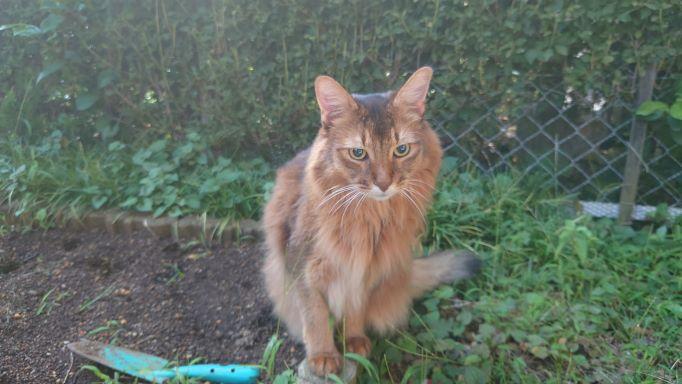 猫草跡地でジッと何かを見つめる猫、ソマリのチー
