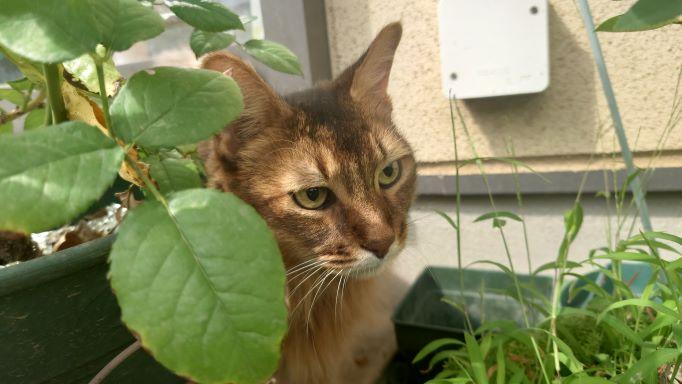 葉っぱのかけ柄周りをうかがう猫、ソマリのチー