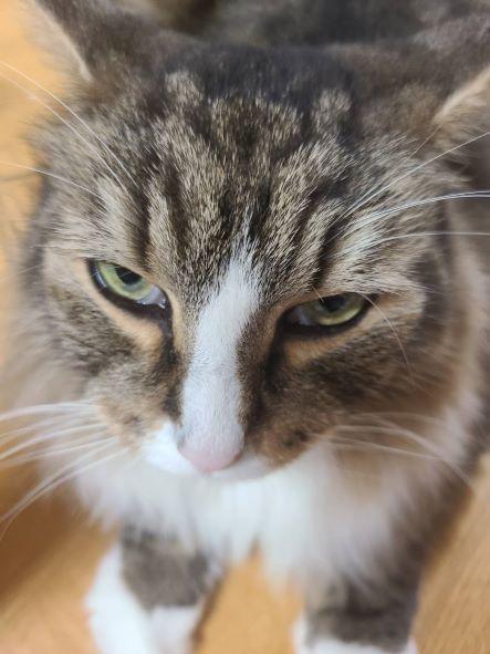 薬を塗られて怒っている猫、ノルウェージャンフォレストキャットのトト