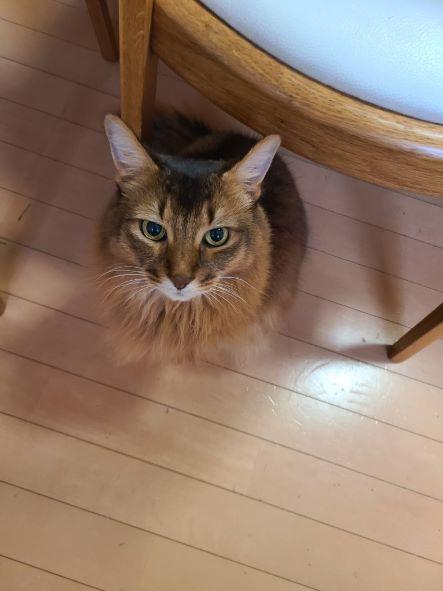 ご飯をねだる猫、ソマリのチー