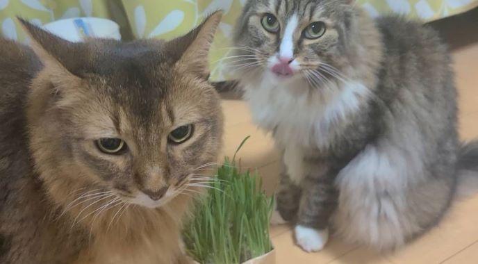 猫草を食べる猫、ノルウェージャンフォレストキャットのトトとソマリのチー