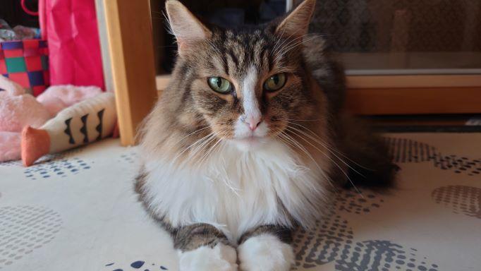 テーブルの下でふてくされている猫、ノルウェージャンフォレストキャットのトト