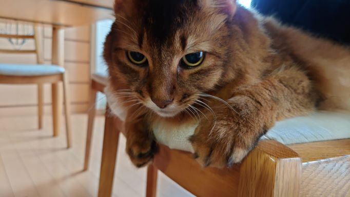 とばっちりを受けてふてくされる猫、ソマリのチー
