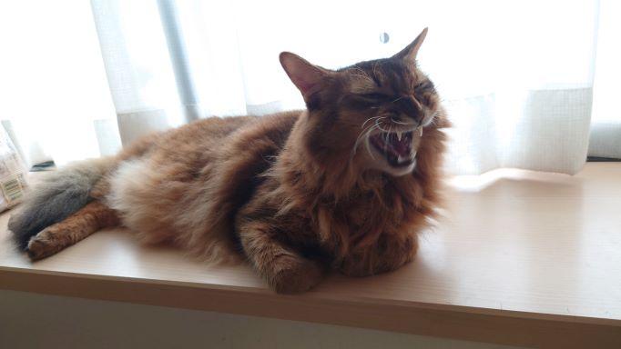 あくびをする猫、ソマリのチー