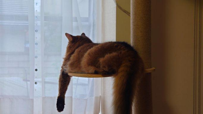 戦意喪失した猫、ソマリのチー