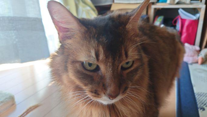 なんだかご機嫌の悪い猫、ソマリのチー