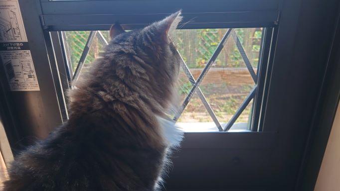 ジッと外を眺める猫、背中がなんだかさみしいノルウェージャンフォレストキャットのトト