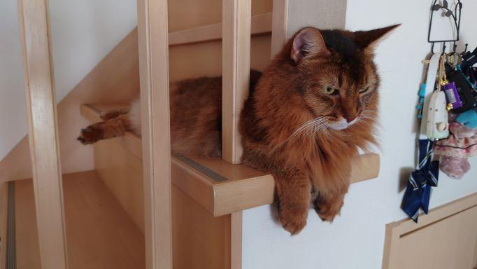 外に行くことをあきらめた猫、ソマリのチー