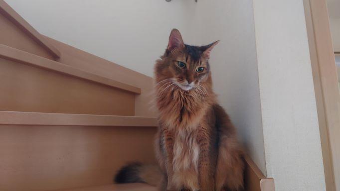 2階の寝床から降りてきた猫、ソマリのチー