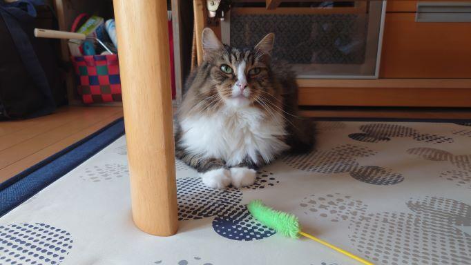 猫じゃらしを前に無関心を装う猫、ノルウェージャンフォレストキャットのトト