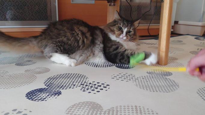 猫じゃらしに大興奮、荒ぶる猫、ノルウェージャンフォレストキャットのトト