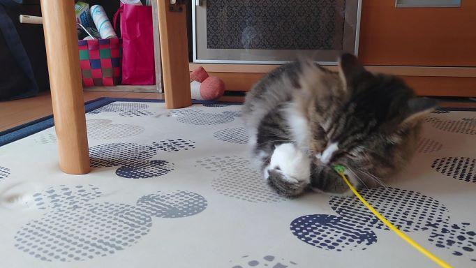 猫じゃらしに喜ぶ猫、ノルウェージャンフォレストキャットのトト