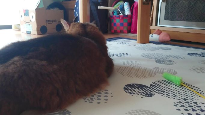 背中を向けて無関心を装う猫、ソマリのチー