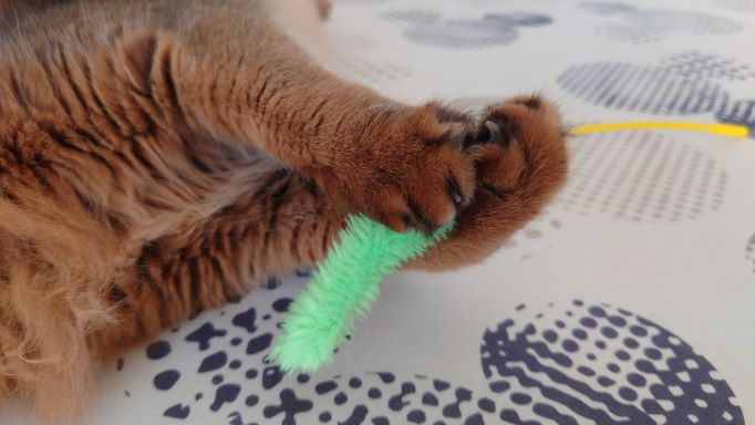 真剣白刃取りをマスターした猫のかわいいお手々、ソマリのチー