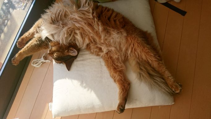 猫の寝姿、ソマリのチー