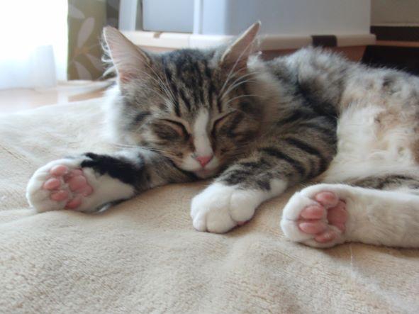 子猫のノルウェージャンフォレストキャットの寝顔
