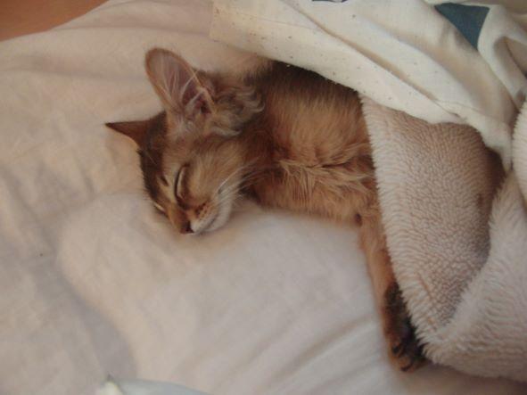 子猫のソマリの寝顔