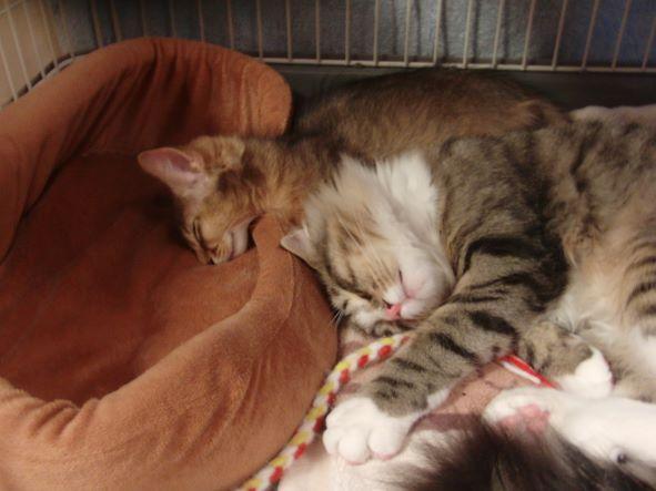子猫のノルウェージャンフォレストキャットとソマリの寝顔