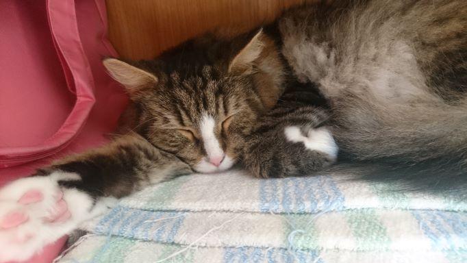 猫の寝姿、ノルウェージャンフォレストキャットのトト