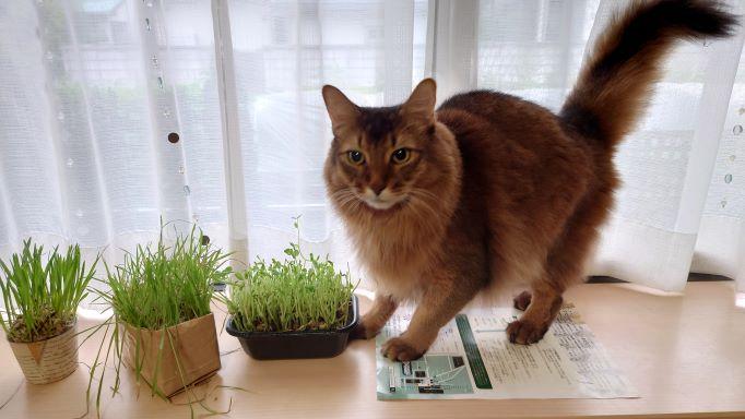猫草と猫、ソマリのチー