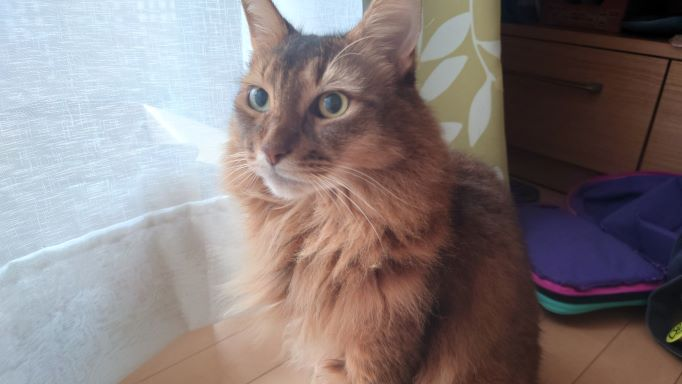 最後にスピーチする猫、ソマリのチー