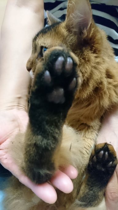 猫の足の裏の毛、肉球周りの毛、タフトカット後
