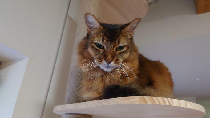 キャットタワーから見下ろす猫、ソマリのチー